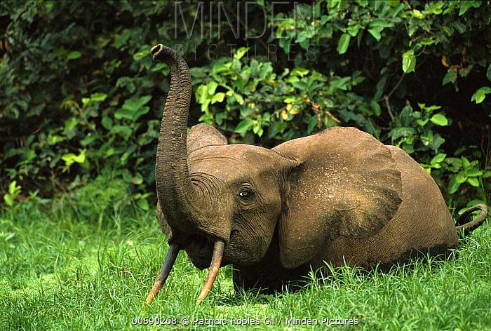minden pictures stock photos african pygmy elephant