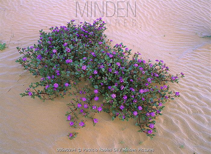 Desert Sand Verbena (Abronia villosa), El Pinacate, Gran Desierto de Altar Biosphere Reserve, Sonora, Mexico  -  Patricio Robles Gil/ Sierra Madr
