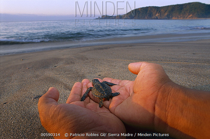 Olive Ridley Sea Turtle (Lepidochelys olivacea) hatchling being released, Pacific Ocean, Oaxaca, Mexico  -  Patricio Robles Gil/ Sierra Madr