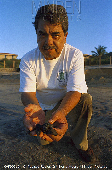 Olive Ridley Sea Turtle (Lepidochelys olivacea) man releasing young turtles on the Pacific coast, Oaxaca, Mexico  -  Patricio Robles Gil/ Sierra Madr