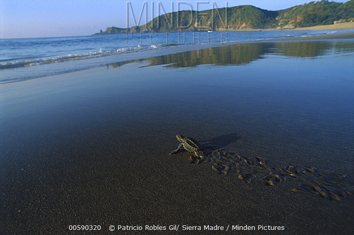 Olive Ridley Sea Turtle (Lepidochelys olivacea) baby crawling across Mazunte Beach to the Pacific Ocean, Oaxaca, Mexico  -  Patricio Robles Gil/ Sierra Madr
