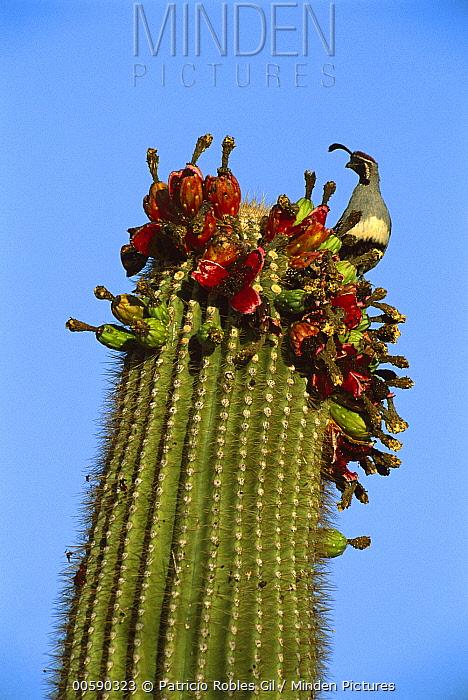 Gambel's Quail (Callipepla gambelii) adult perched atop a blooming cactus, El Pinacate/Gran Desierto de Altar Biosphere Reserve, Sonora, Mexico  -  Patricio Robles Gil/ Sierra Madr