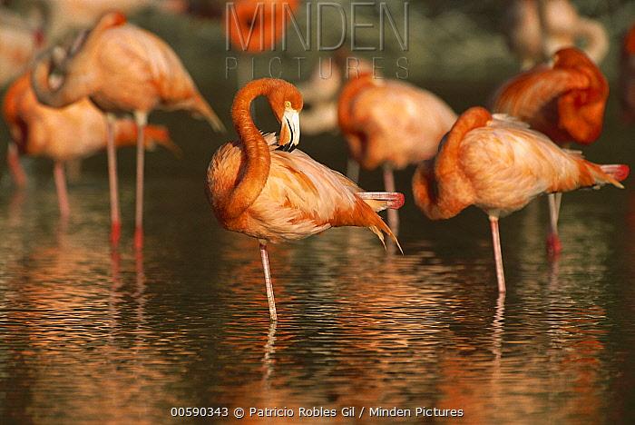 Greater Flamingo (Phoenicopterus ruber) flock, Ria Celestun Biosphere Reserve, Yucatan-Campeche, Mexico  -  Patricio Robles Gil/ Sierra Madr