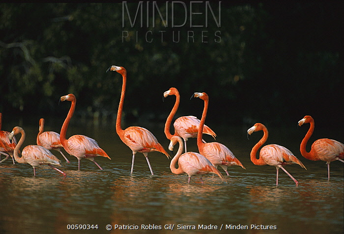 Greater Flamingo (Phoenicopterus ruber) flock wading, Ria Celestun Biosphere Reserve, Yucatan-Campeche, Mexico  -  Patricio Robles Gil/ Sierra Madr