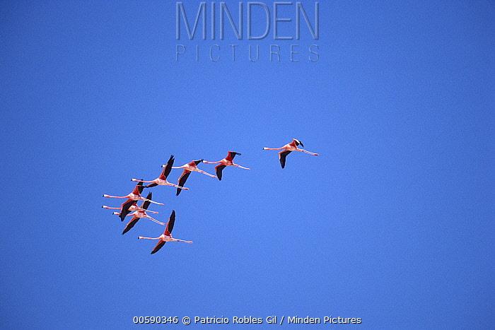 Greater Flamingo (Phoenicopterus ruber) flock flying, Ria Celestun Biosphere Reserve, Yucatan-Campeche, Mexico  -  Patricio Robles Gil/ Sierra Madr