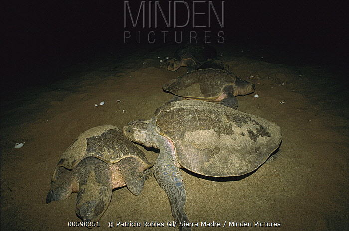 Olive Ridley Sea Turtle (Lepidochelys olivacea) adult females laying eggs in nests on the beach at night, Pacific coast, Oaxaca, Mexico  -  Patricio Robles Gil/ Sierra Madr