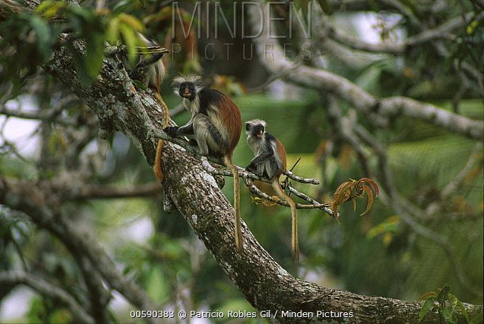 Zanzibar Red Colobus (Procolobus kirkii) mother and young in canopy, Jozani Forest, Zanzibar Island, Tanzania  -  Patricio Robles Gil/ Sierra Madr