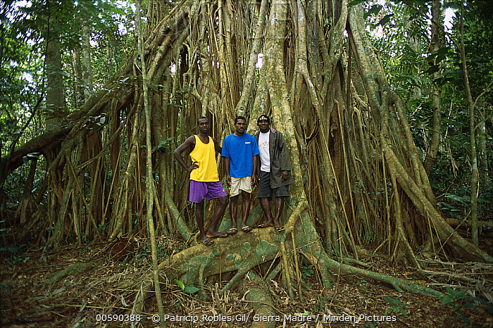 Fig (Ficus sp) tree with giant roots and local guides at Espiritu Santo Island, protected area, Vanuatu Archipelago, New Hebrides  -  Patricio Robles Gil/ Sierra Madr