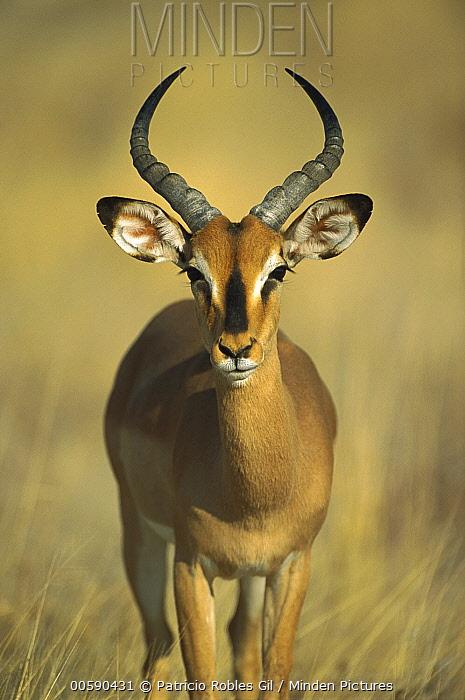 Black-faced Impala (Aepyceros melampus petersi) portrait, Etosha National Park, Namibia  -  Patricio Robles Gil/ Sierra Madr