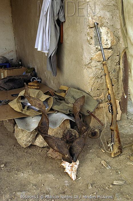 Markhor (Capra falconeri) horns beside gun, animal was poached, Uzbekistan  -  Patricio Robles Gil/ Sierra Madr