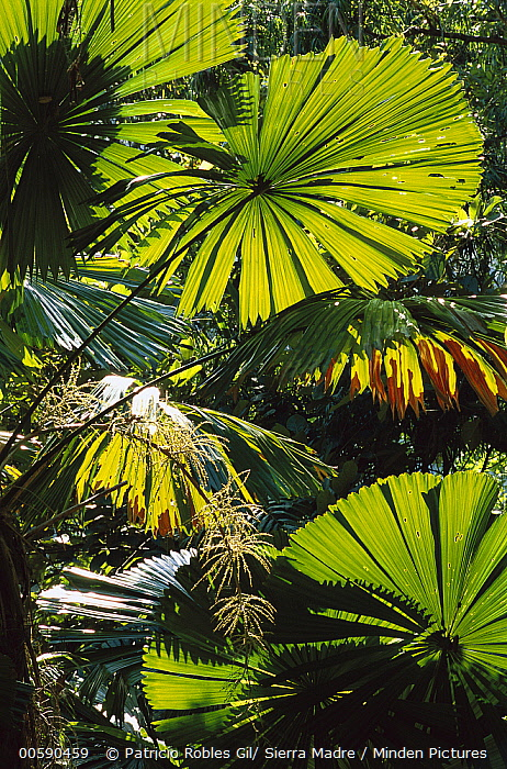Australian Fan Palm (Livistona australis) in rainforest interior, Daintree National Park, Queensland, Australia  -  Patricio Robles Gil/ Sierra Madr