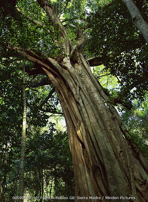 Fig (Ficus sp) in tropical rainforest, Daintree National Park, Queensland, Australia  -  Patricio Robles Gil/ Sierra Madr