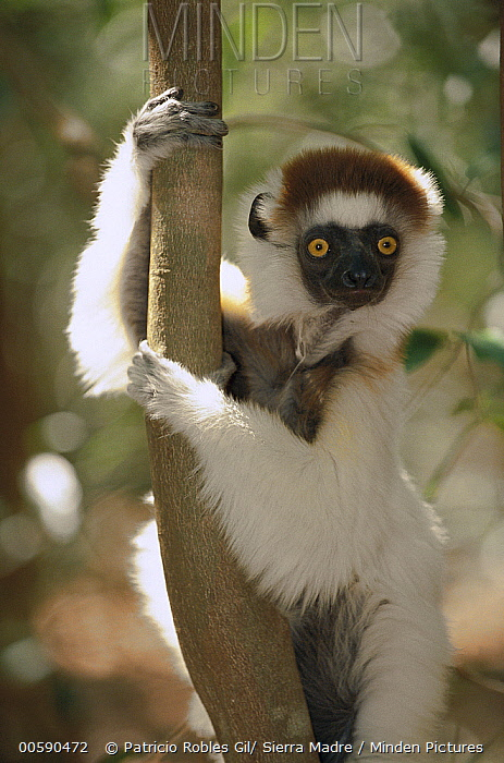 Verreaux's Sifaka (Propithecus verreauxi) portrait in tree, Berenty Private Reserve, South Madagascar  -  Patricio Robles Gil/ Sierra Madr