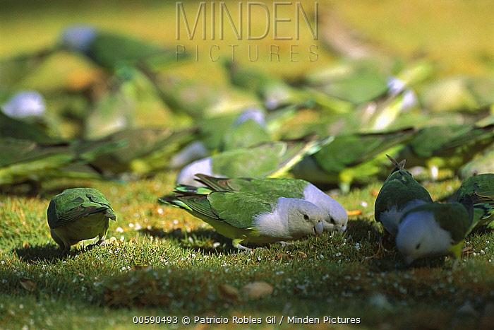 Gray-headed Lovebird (Agapornis cana) flock foraging, Madagascar  -  Patricio Robles Gil/ Sierra Madr