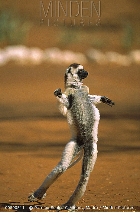 Verreaux's Sifaka (Propithecus verreauxi) running across open ground, Berenty Private Reserve, South Madagascar  -  Patricio Robles Gil/ Sierra Madr