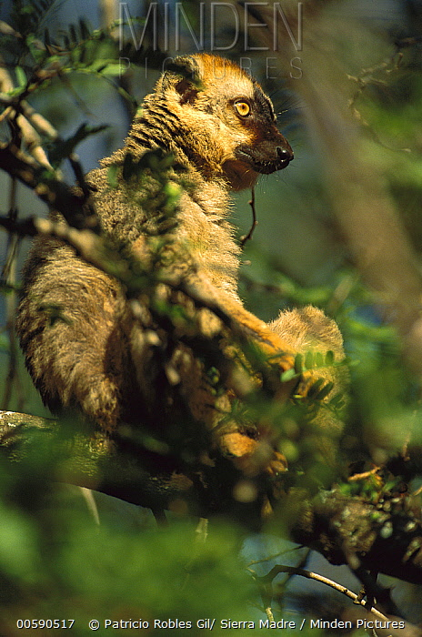 Common Brown Lemur (Eulemur fulvus) in tree, Anjajavy, northwestern Madagascar  -  Patricio Robles Gil/ Sierra Madr