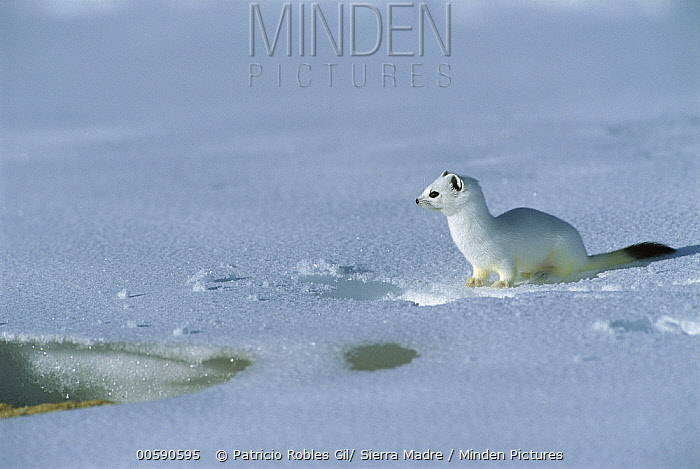 Long-tailed Weasel (Mustela frenata) camouflaged in white winter coat, Alaska  -  Patricio Robles Gil/ Sierra Madr