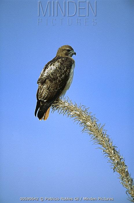 Red-tailed Hawk (Buteo jamaicensis) perching on dead Ocotillo (Fouquieria splendens) cactus branch, Sierra del Carmen region, Mexico  -  Patricio Robles Gil/ Sierra Madr