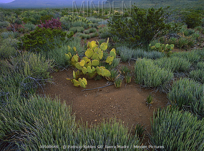 Prickly Pear Cactus and desert vegetation, Chihuahuan Desert, Coahuila state, Mexico  -  Patricio Robles Gil/ Sierra Madr