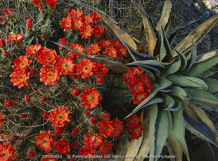 Claret Cup Cactus (Echinocereus triglochidiatus) and Agave, Chihuahuan Desert, Mexico  -  Patricio Robles Gil/ Sierra Madr