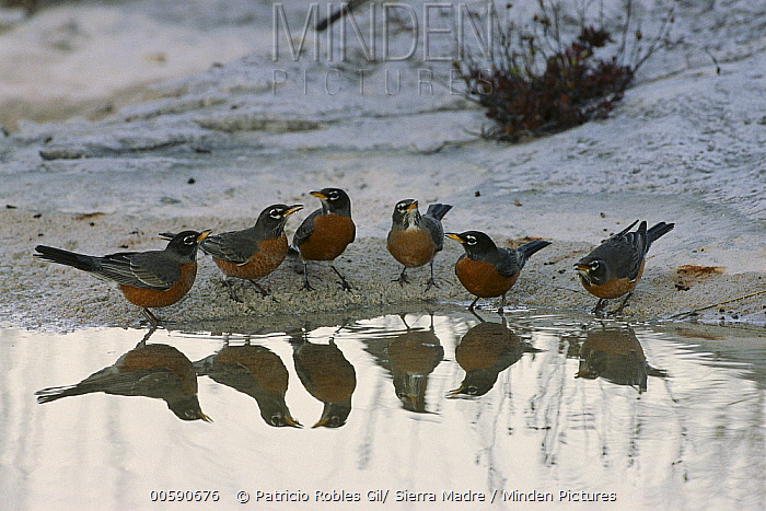 American Robin (Turdus migratorius) group of six gathered at waterhole, Sierra del Carmen region, Mexico  -  Patricio Robles Gil/ Sierra Madr