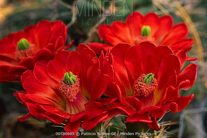 Claret Cup Cactus (Echinocereus triglochidiatus) flowers, Chihuahuan Desert, Mexico  -  Patricio Robles Gil/ Sierra Madr