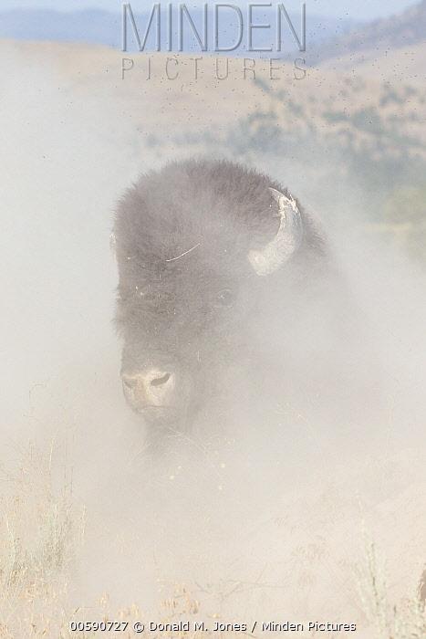 American Bison (Bison bison) dust bathing, National Bison Range, Montana