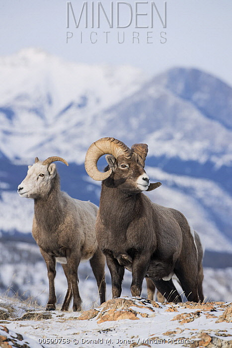 Bighorn Sheep (Ovis canadensis) female and male in winter, Jasper National Park, Alberta, Canada