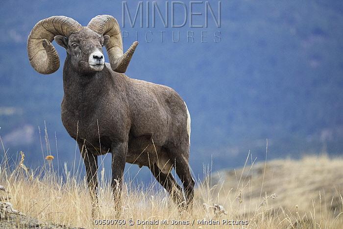 Bighorn Sheep (Ovis canadensis) ram, Montana