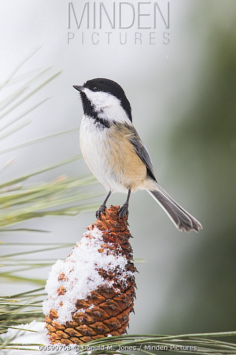 Black-capped Chickadee (Poecile atricapillus) in winter, Troy, Montana