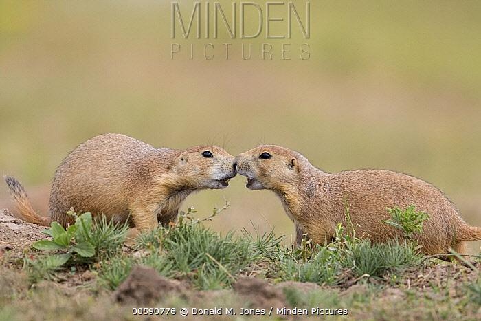 Black-tailed Prairie Dog (Cynomys ludovicianus) pair greeting, South Dakota