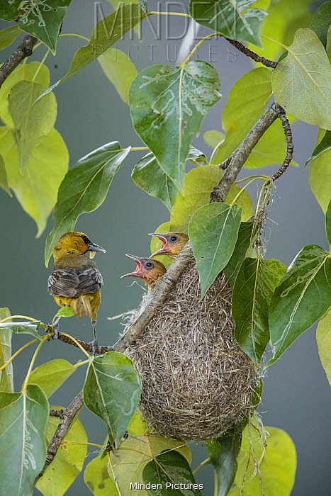 Bullock's Oriole (Icterus bullockii) parent with prey at nest with begging chicks, Montana