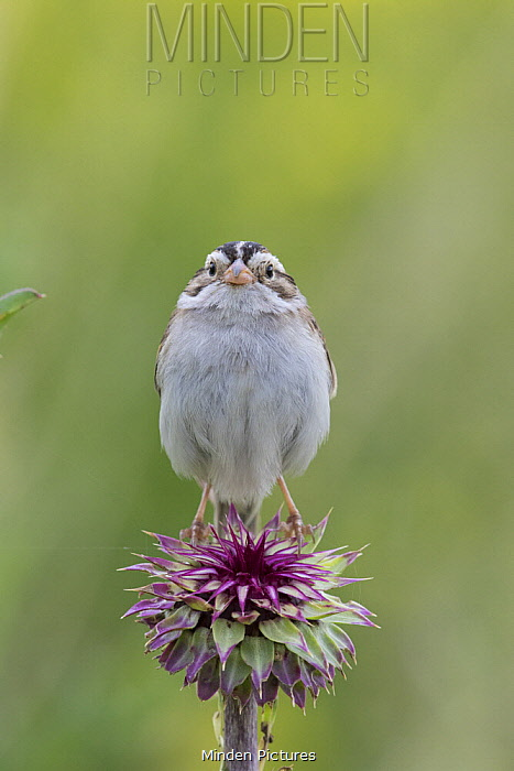 Clay-colored Sparrow (Spizella pallida), Montana