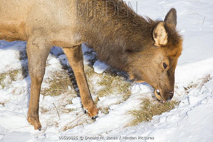 Elk (Cervus elaphus) female grazing on dry grass in winter, Alberta, Canada