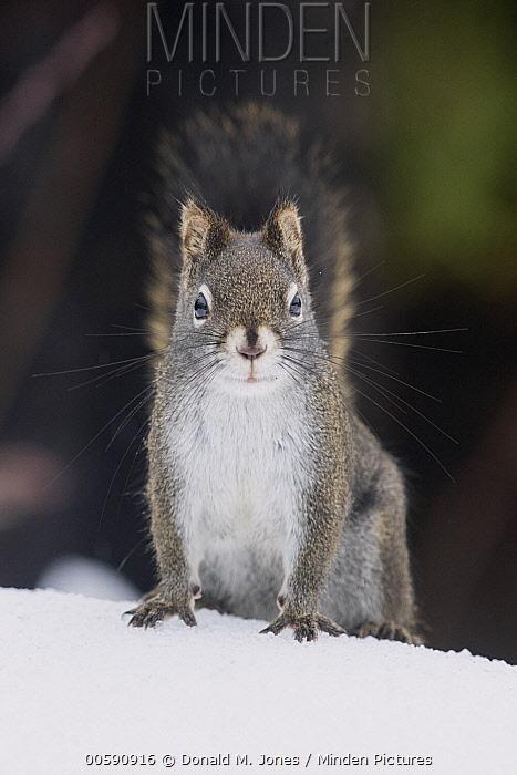 Red Squirrel (Tamiasciurus hudsonicus) in winter, Montana