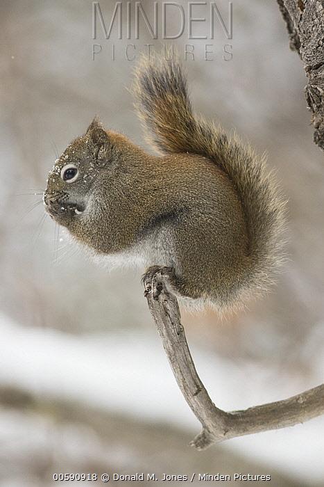 Red Squirrel (Tamiasciurus hudsonicus) feeding in winter, Montana