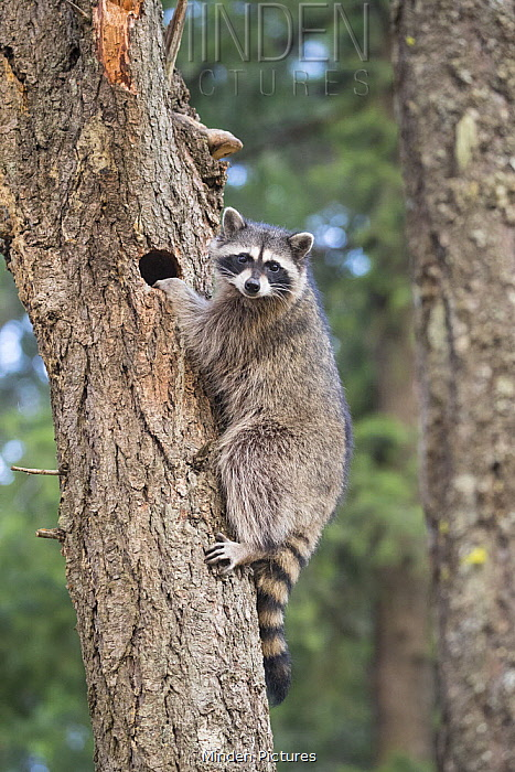 Raccoon (Procyon lotor) juvenile in tree, Montana