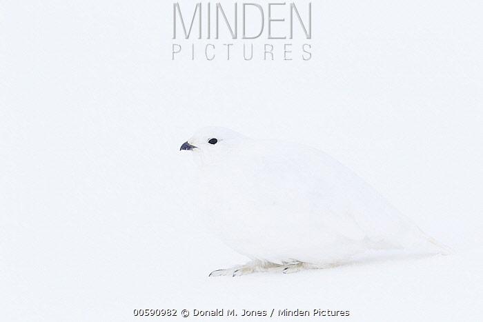 White-tailed Ptarmigan (Lagopus leucura) in winter plumage, Alberta, Canada
