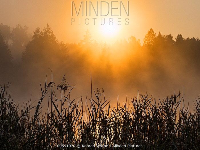 Reeds at sunrise, Upper Bavaria, Germany