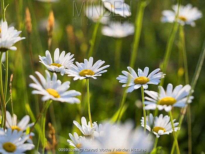 Marguerite (Leucanthemum vulgare) flowers, Upper Bavaria, Germany