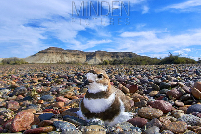 Two-banded Plover (Charadrius falklandicus) on nest, Chubut, Argentina