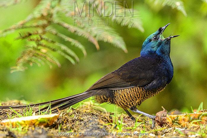 Ribbon-tailed Astrapia (Astrapia mayeri) calling, Kumul Lodge, Papua New Guinea