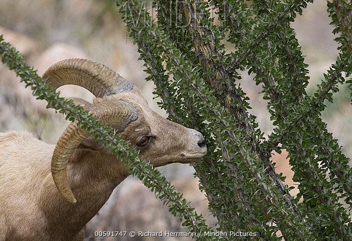 Desert Bighorn Sheep (Ovis canadensis nelsoni) ram browsing on Ocotillo (Fouquieria splendens) cactus, Anza-Borrego Desert State Park, California