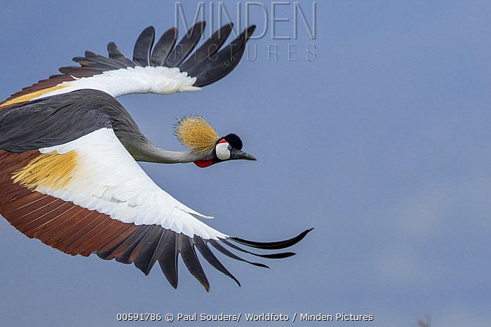 Grey Crowned Crane (Balearica regulorum) flying, Ngorongoro Conservation Area, Tanzania