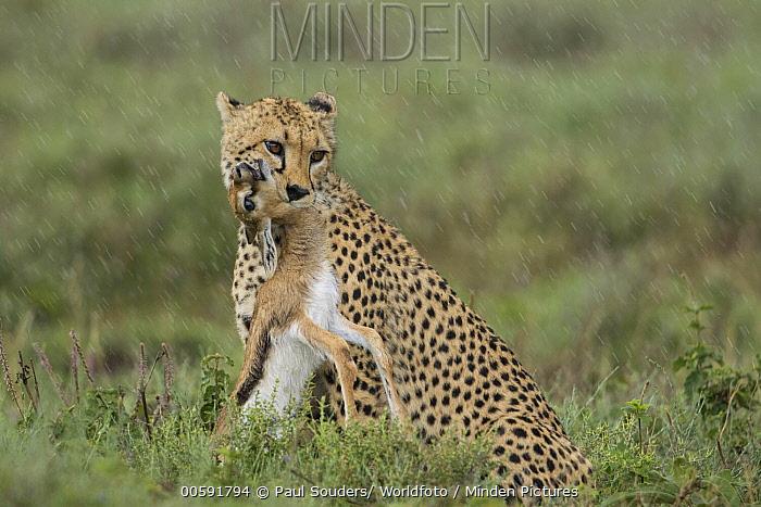 Cheetah (Acinonyx jubatus) with Thomson's Gazelle (Eudorcas thomsoniI) young prey during rainfall, Ngorongoro Conservation Area, Tanzania