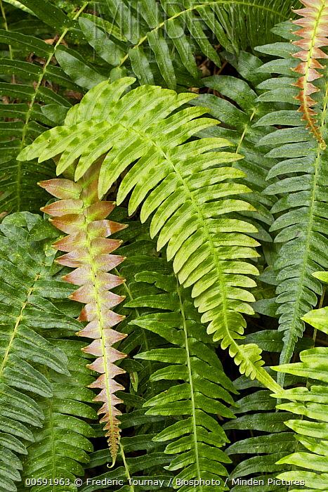 Palm Fern (Blechnum appendiculatum) fronds, France