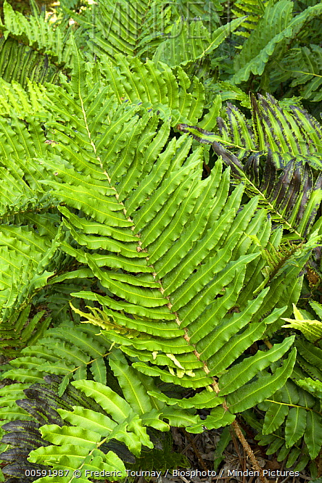 Greater Hard-Fern (Blechnum cordatum), France
