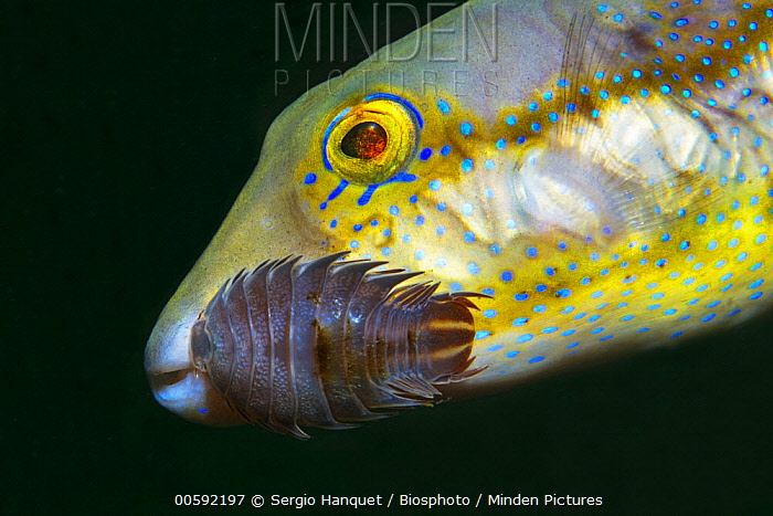 Macaronesian Sharpnose Puffer Fish (Canthigaster capistrata) with sea louse, Tenerife, Canary Islands