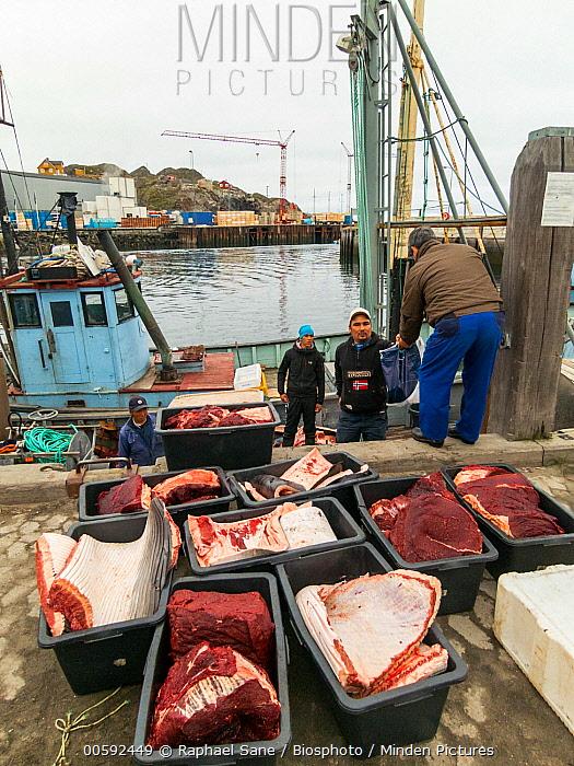 Dwarf Minke Whale (Balaenoptera acutorostrata) killed by Inuit people, Greenland