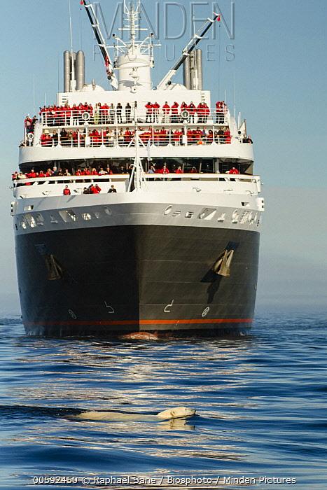 Polar Bear (Ursus maritimus) swimming near cruise ship, Canada